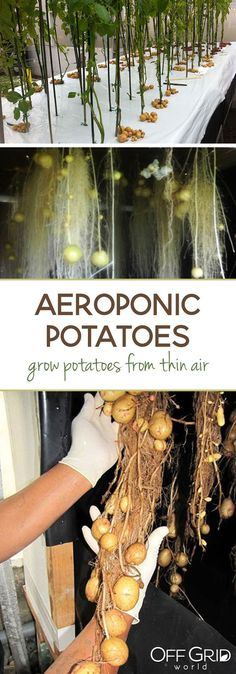 Grow potatoes from thin air with aeroponics