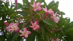 ลีลาวดี (Plumeria Spp.)