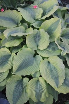 Hosta 'Goodness Gracious' PP 23,081