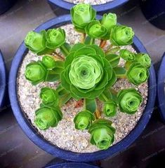 Rare Heirloom Cluster of Greenovia Drodentalis Succulent Bonsai Seeds 10 Seeds Pack True Variety Succulent Seeds, Succulent Gardening, Cacti And Succulents, Planting Succulents, Garden Plants, Container Gardening, Planting Flowers, Succulent Bonsai, Air Plants