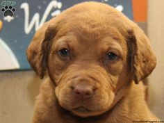 Chesapeake Bay Retriever Puppies For Sale In PA!