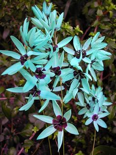 Turquoise Ixia - The Turquoise Ixia comes from the Cape region of South Africa. This plant is endangered in its homeland of South Africa.  Adult bulbs are rarely seen for sale.