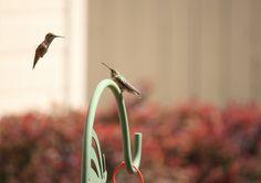 Two hummingbirds chatting :-)