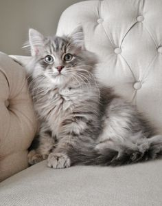Cutest cats online: Get your FREE 12 days online course for a better, healthier & happier pet life. Siberian Forest Cat, Siberian Cat, Cute Cats And Kittens, Kittens Cutest, Pretty Animals, Cute Animals, Gatos Cats, Norwegian Forest Cat, Grey Cats