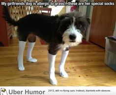 Dog allergic to grass has to wear stockings. My dog has a grass allergy too but I don't think she'd wear these...