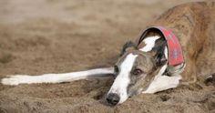Salvemos a los galgos de quienes los están matando cruelmente en represalia a la Ley que prohíbe las carreras de perros