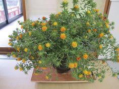 【御奉納】平成24年7月15日、槙 則吉様より紅花をいただきました。誠にありがとうございます。