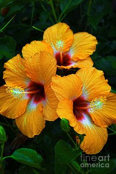 2017 100 Pcs Giant Hibiscus Flower Chinese Cheap Seeds On Hibiscus Flower Seeds Best Gift For Your Children The Home Garden