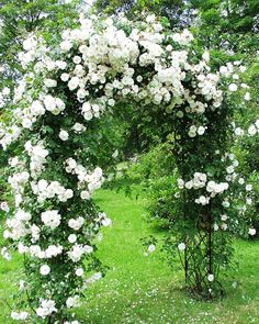 Die einmal blühende Rosa sempervirens-Hybride 'Adélaide d'Orléans' (Jacques 1826) umschlingt mit ihren weichen Trieben in Kürze jeden Rosen-Bogen. Auf diesem Bild von Leif to Baben aus dem Rosarium Glücksburg blüht sie auf dem Rosenbogen 'Bagatelle' von Classic Garden Elements.