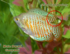 """Gourami Fish Male vs Female 