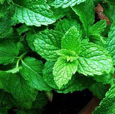 Edible Medicinal Mint Sauce Mint Aromatic Herb 9cm Pot