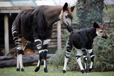 new baby okapi!! @ZooParc de Beauval (Officiel)