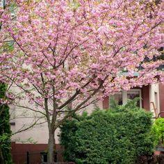 Wiśnia Piłkowana Kanzan Internetowy sklep ogrodniczy Podkarpackie Sady Prunus, Wisteria, Cottage, Garden, Search, Google, Collection, Garten, Cottages