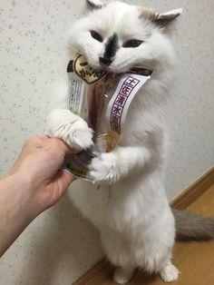【画像】 すさまじく食い意地のはった猫が可愛すぎるとツイッターで話題にwww