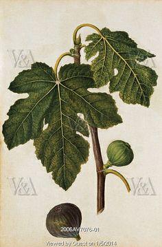 Fig, by Jacques Le Moyne de Morgues. France, c.1568