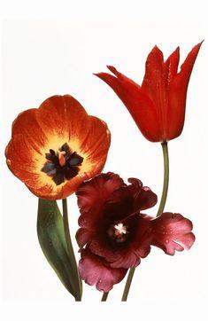 Irving Penn | © Pleasurephoto | Page 22 Irving Penn Flowers, Robert Mapplethorpe, Fresh Mint Leaves, Hollyhock, Wedding Tattoos, Plant Needs, Animal Tattoos, Flower Beds, Cactus Flower