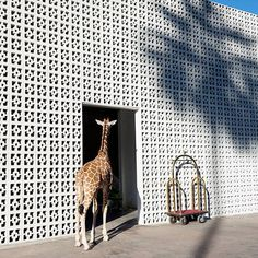 A giraffe welcomes you to the Parker Palm Springs hotel... from the wild #GrayMalinattheParker series by @GrayMalin @parkerpalmsprings #yatzer_inspiration