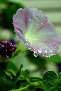 Pink Purple Morning Glory with dew drops / Bokeh Flowers Garden, Planting Flowers, Dew Drops, Rain Drops, Water Drops, Dream Garden, Beautiful World, Simply Beautiful, Mother Nature