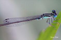 photo macro libellule