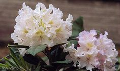 Pohjola's Daughter Rhododendron (Rhododendron 'Pohjola's Daughter') at Bachman's Landscaping