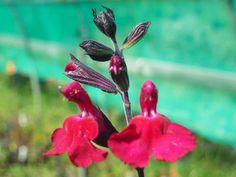 Salvia x jamensis 'Rasberry Royal'