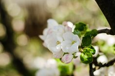 Apple blossom by Pricope Marian on 500px