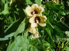 Black Henbane (Hyoscyamus niger) was one of the most important ritual plant of the ancient Germanic peopes and was connected to the prophetic gods of the Celts, Greeks and Romans of antiquity.  It was one of the most important remedies in witches' medicine.