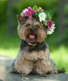 Yorkie flower child