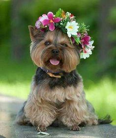 Yorkie flower child