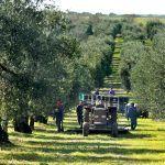 Olive Oil – liquid gold?