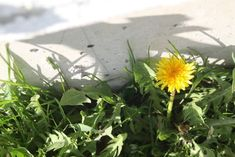 Making and using dandelion oil is a simple but practical way to make the most of these yellow 'weeds' that fill our lawns and gardens every year. Use it to treat sore joints and more. Home Health Remedies, Natural Health Remedies, Healing Herbs, Medicinal Plants, Dandelion Health Benefits, Dandelion Uses, Natural Cure For Arthritis, How To Make Oil, Bee Hives