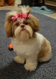 Shih Tzu ... Maddie Shih on a Monday by TARIKISA