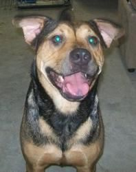Sydney is an adoptable Catahoula Leopard Dog Dog in Williston, FL. Hi, my name is Sydney.. I was rescued from Levy County Animal Services just in the nick of time.. I was scheduled to be euthanized th...
