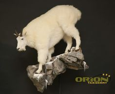 Wall mount Mountain Goats, Taxidermy, Wall Mount, Sheep, Bullet, Hunting, Posters, Wall Installation, Poster