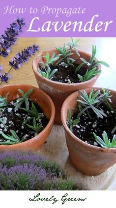 How to Propagate Lavender - an easy and inexpensive way to create more plants for free. by mvaleria
