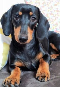 Dachshund – Friendly and Curious Dachshund Funny, Dapple Dachshund, Dachshund Puppies, Dachshund Love, Cute Puppies, Pet Dogs, Dogs And Puppies, Dog Cat, Pets
