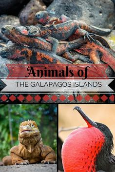 Most of the 13 major and 7 smaller islands remain uninhabited today, with over 97% of the archipelago preserved as a national park. As a result of these conservation efforts, the Galapagos Islands remains one of the world's most pristine and unspoiled UNESCO World Heritage Sites, with a remarkable array of mammals, reptiles, amphibians and bird species to be seen.