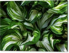Acrylic Print featuring the photograph Green Leaves Of Hosta by Jenny Rainbow Art Prints For Home, Fine Art Prints, Green Leaves, Plant Leaves, Plantain Lily, Thing 1, Beautiful Artwork, Fine Art Photography