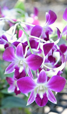 Thailand orchids (Wil 5840)