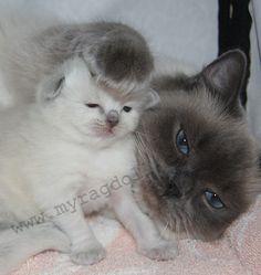 Ragdoll Cat and Ragdoll Kitten Kittens And Puppies, Cute Cats And Kittens, Cool Cats, Kittens Cutest, Ragdoll Kittens, Pretty Cats, Beautiful Cats, Animals Beautiful, Animals And Pets