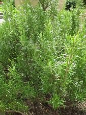 rozmaryn Medicinal Plants, House Plants, The Cure, Healing, Herbs, Leaves, Nature, Therapy, Herb