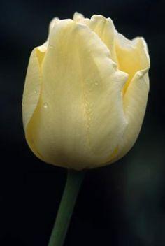 Buy triumph tulip bulbs Tulipa 'Nicholas Heyek': Delivery by Crocus.co.uk