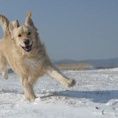 """I nostri cani, a parte qualche eccezione, soffrono il freddo nei mesi invernali. Non tutti si intende: le razze nordiche amano il freddo e la neve, ma non tutti lo affrontano così bene. Vediamo allora quali accortezze utilizzare per proteggere il pet da piccoli fastidi e veri e propri """"raffreddori""""."""