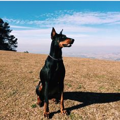 The Doberman Pinscher is among the most popular breed of dogs in the world. Known for its intelligence and loyalty, the Pinscher is both a police- favorite Doberman Funny, Doberman Love, I Love Dogs, Cute Dogs, Doberman Pinscher Blue, Doberman Training, Puppy Litter, Best Dogs, Dog Breeds