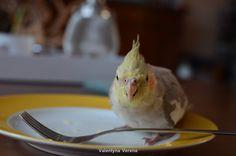 Cockatiel Ravi, 13 week old cinnamon male. Eating cheese from my plate. He loves cheese! Valkparkiet