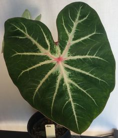 Handsome Caladium, Tall Green Leaves with White Centre, Pink Veins (b4)