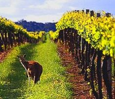 Have you spotted a kangaroo while wine tasting in Australia?