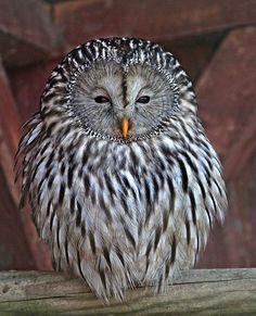 Ural owl - (Habichtskauz) Medium to largish gray owl with no ear tufts &…