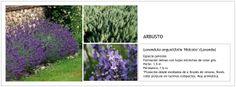 Lavandula angustifolia 'Hidcote' (Lavanda)