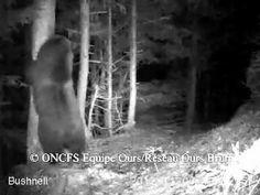 """Kennt ihr eure Nachbarn? Diese sollte ihr unbedingt kennenlernen, denn sie leben auch in der 31, nur 1,5 Stunden von Toulouse entfernt: Bären in den Pyrenéen, gefilmt von automatischen Kameras des Netzwerks """"Ours Brun""""."""